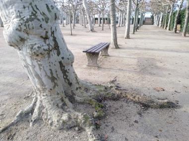 Platanen Wurzel